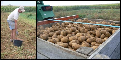 Récolte des pommes de terre - Septembre 2015